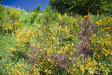 Blooming Gorse On A Mountain Slope.