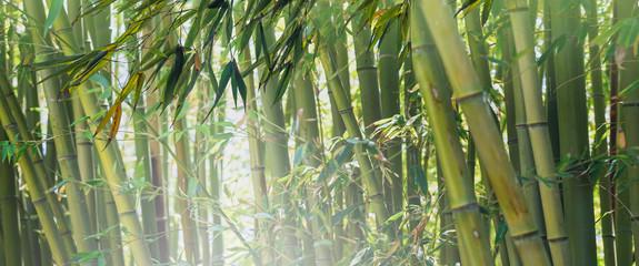 Fototapeta Bambus Jungle in Malaysia with green bamboo grove.