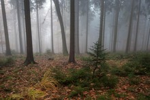 Trees In The Forest, In The Fog, Autumn Forest, Baden-Wurttemberg, Germany, Europe