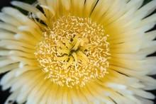 Yellow Cactus Flower (cactus),...