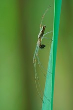 Long-jawed Orb-weaver Spider (Tetragnatha Extensa) With Prey, Hesse, Germany, Europe