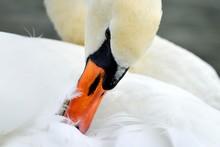 Mute Swan (Cygnus Olor), Preening, Zug, Switzerland, Europe