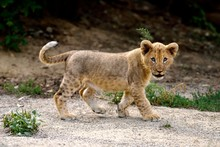 Young Lion (Panthera Leo), Standing, Captive
