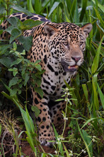 Jaguar Looking Out At The Edge Of Grass