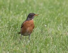 American Robin In Grass Field