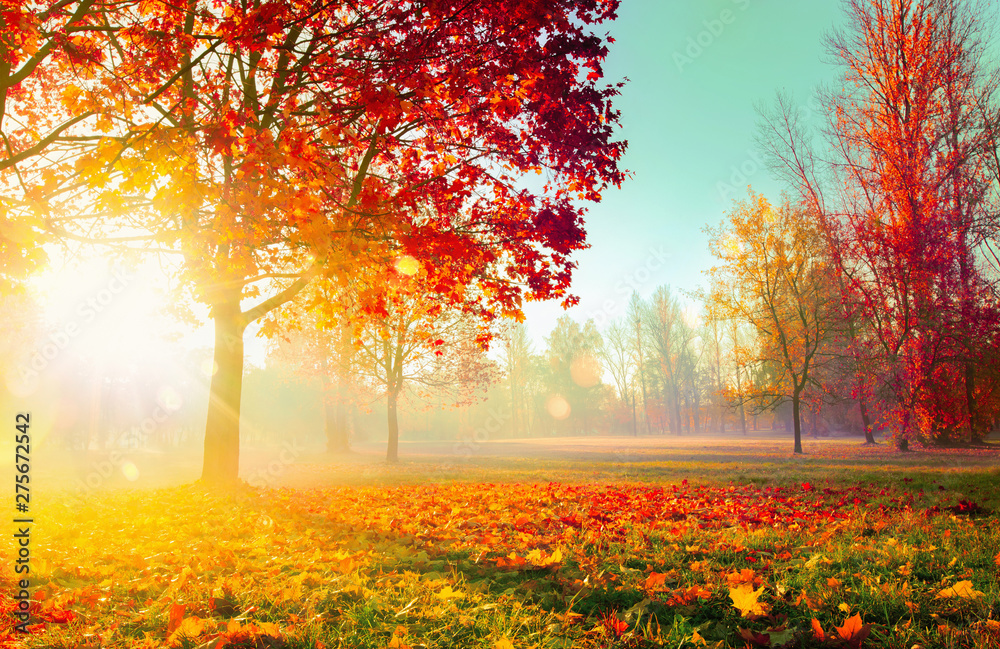 Fototapety, obrazy: Autumn Landscape. Fall Scene. Trees and Leaves in Sunlight Rays