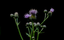 Purple Spiky Flower With Long ...