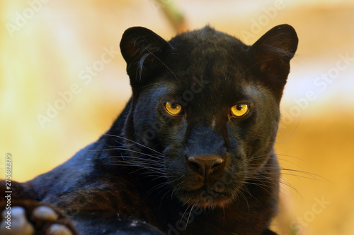 The leopard (Panthera pardus) portrait. Melanistic leopards are also called black panthers.