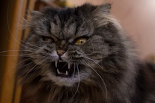 Close Up Portrait Of Serious Angry Gray Furry Scotish Cat With Orange Eyes And Big Fangs. Cat Is Defending