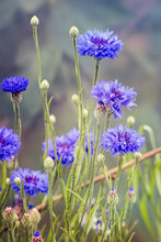 Blue Cornflowers Or Centaurea ...