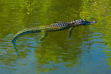 American Alligator, Everglades...