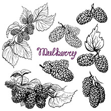 Set Mulberry. Hand Drawn Sketch Graphics Elements,black And White