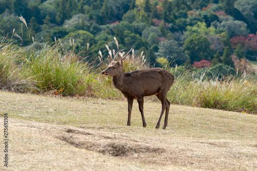 Deurstickers Hert Deers in Nara park in Nara city at Japan. Park with animals in Japan