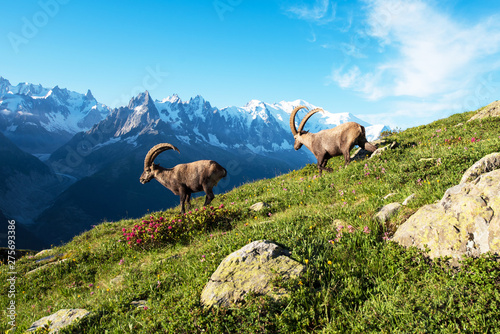 Beautiful mountain landscape with two cute  mountain goats  in the French Alps near the Lac Blanc massif against the backdrop of Mont Blanc Canvas Print