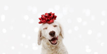 Banner Happy Dog Present For Christmas, Birthday Or Anniversary, Wearing A Red Ribbon On Head. Isolated Against White Background.