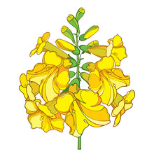 Outline Tecoma Stans Or Yellow Trumpet Flower Bunch And Bud In Yellow Isolated On White Background.