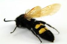 Specimen Of Mammoth Wasp (Mega...