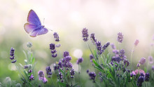 Purple Blossoming Lavender And Flying Butterfly In Nature.