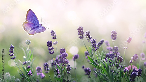 Purple blossoming Lavender and flying butterfly in nature. - 275701530