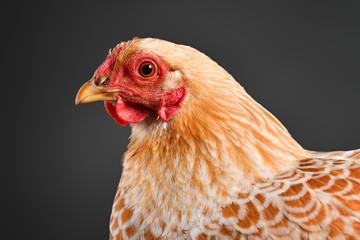 Chicken in studio