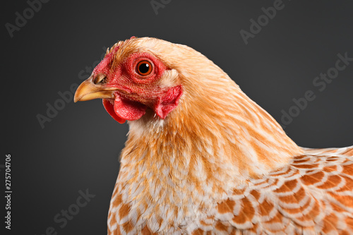 Photo sur Aluminium Poules Chicken in studio