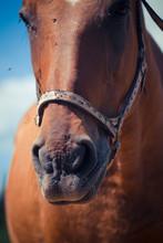 Portrait Of A Horse Close Up. ...