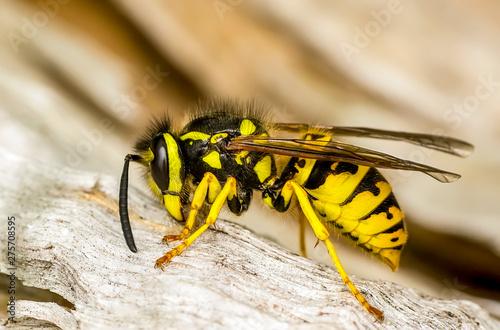 Beautiful Median wasp (Dolichovespula) portrait - Stock Image Tapéta, Fotótapéta