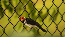 Red Crested Cardinal From Hawaii On A Fence