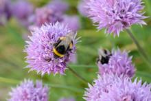 Bumblebees Pollinating A Chive Flower (Allium Schoenoprasum)