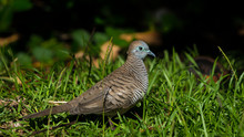 The Zebra Dove (Geopelia Striata) Also Known As Barred Ground Dove, Is A Bird Of The Dove Family, Columbidae, Native To Southeast Asia