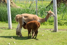 Pale Reddish Female Alpaca Standing In Profile Feeding Her Darker Baby In Enclosure During A Summer Morning, Pont-Rouge, Quebec, Canada