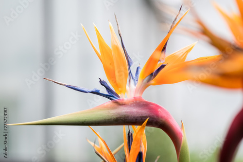 Poster Flower shop bird of paradise flower