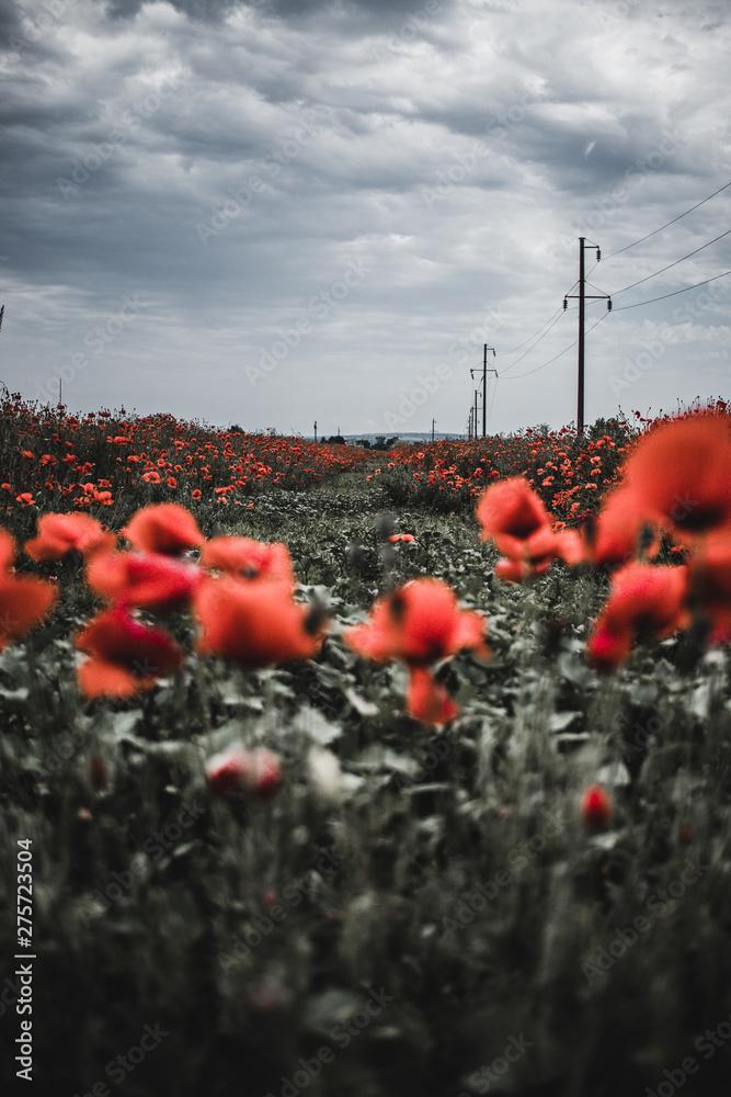 Fototapeta poppy field of red poppies - obraz na płótnie