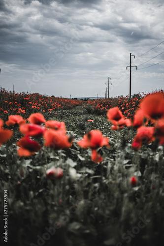 Fototapeta poppy field of red poppies obraz na płótnie
