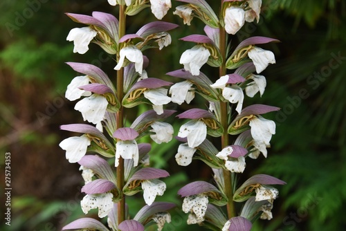 Acanthus mollis is a summer flower that has large leaves and a majestic flower ear with a strong presence Canvas Print