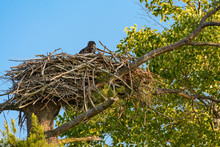 Bald Eagle Chick Sitting In The Nest