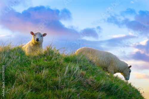 Spoed Fotobehang Schapen Low point of view of lamb looking over grassy hill against cloudy sky.