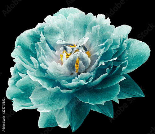 Peony flower turquoise on the black isolated background with clipping path. Nature. Closeup no shadows. Garden flower. - 275745352