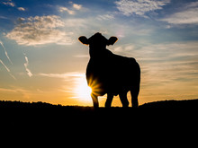 Evening Pasture. Silhouette Of A Single Cow At Sunset.