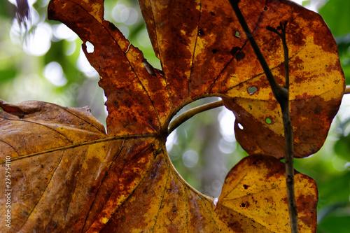Fototapeta Rdzawy liść tropikalnego drzewa obraz