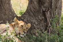 Lion Cub Sleeping Against Tree Trunk With Blurred Green Grass In Foreground. Tarangire National Park, Tanzania, Africa