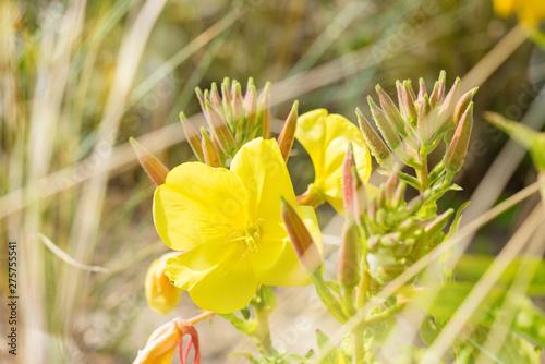 Photo sur Toile Narcisse fleures sauvages dans les dunes
