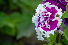 Petunia In The Garden On A Blu...