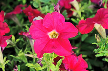 Petunia, Two-tone Colored Flow...