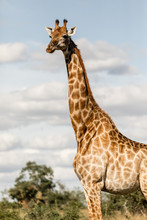 Female Giraffe Looking In The Distance In Africa