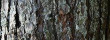 Tree BarkTexture Background Pattern. Relief Texture Of The Brown Bark Of A Tree With Moss On It. Horizontal Banner Photo
