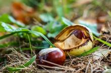 Kastanie Im Herbst - Chestnut