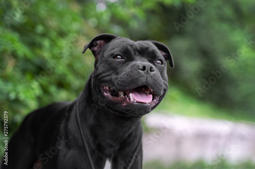 Photo portrait of black staffordshire bull terrier on the background of green trees i