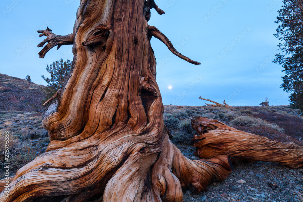 Fototapety, obrazy: Ancient Bristlecone Pine forest, Inyo National forest, White Mountains, California, USA, America