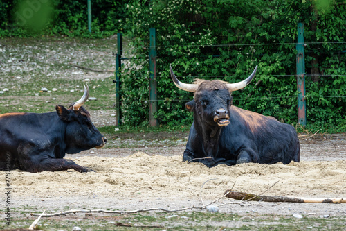 Fényképezés Heck cattle, Bos primigenius taurus or aurochs in the zoo